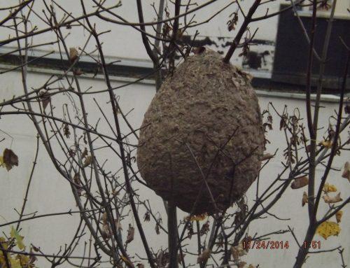 Que faire en cas de suspiscion d'un nid de frelon asiatique ?